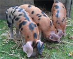 See our Oxford Sandy & Black pigs