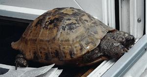 Tabitha Tortoise